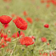 Common Poppies Art Print