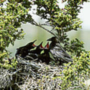 Common Raven Feeding Young In Nest Art Print