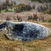 Common Seal Resting On The Beach Art Print
