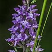 Common Spotted Orchid Art Print