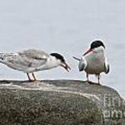 Common Tern Pictures 39 Art Print