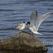 Common Tern Pictures 48 Art Print