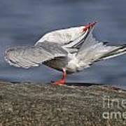 Common Tern Pictures 51 Art Print