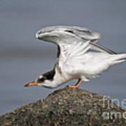 Common Tern Pictures 67 Art Print
