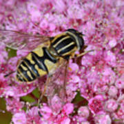 Common Tiger Hoverfly Art Print