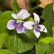 Common Violet Art Print