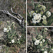 Common Yarrow Collage Art Print