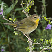 Common Yellowthroat Hen Art Print