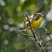 Common Yellowthroat Warbler Art Print