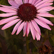 Coneflower And Dusty Miller Art Print