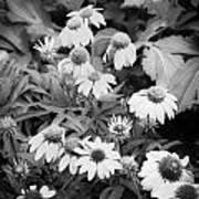 Coneflowers Echinacea Rudbeckia Bw Art Print by Rich Franco