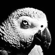 Congo African Grey Head Shot Art Print