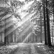 Coniferous Forest In Early Morning Art Print