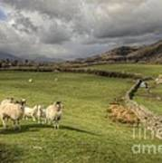 Coniston Sheep  Art Print