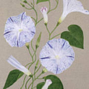 Convolvulus Cneorum Art Print by Frances Buckland