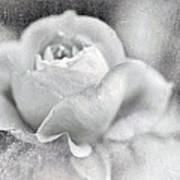 Cool Rose Art Print