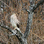 Coopers Hawk 0741 Art Print