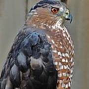 Coopers Hawk 3 Art Print by Helen Carson