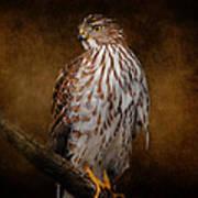 Coopers Hawk Portrait 1 Art Print