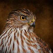Coopers Hawk Portrait 2 Art Print