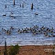 Coots On The Water Art Print