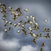 Corella Flock Art Print