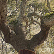 Cork Oak Tree Art Print