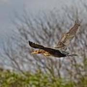 Cormorant On Wings Art Print