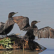 Cormorants Sunbathing Art Print