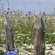 Cornflower Meadow Art Print