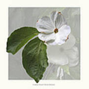 Cornus 'eddie's White Wonder' Art Print by Saxon Holt