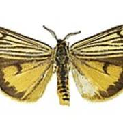 Coscinia Striata Moth Art Print