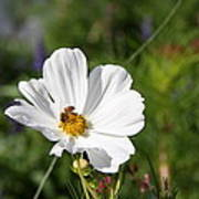 Cosmea And Bee Art Print