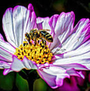 Cosmos Flower And Bee Art Print