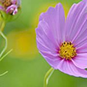 Cosmos Flower In Full Bloom And Bud Art Print