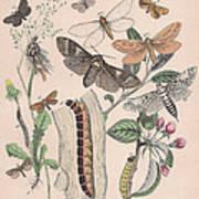 Cossidae - Cochliopodidae - Hepialidae - Psychidae Art Print