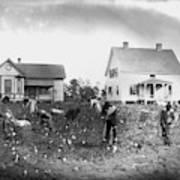 Cotton Picking, 1902 Art Print