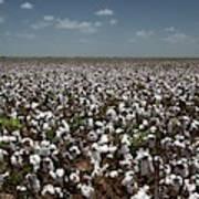 Cotton Plants Art Print