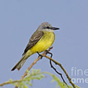 Couchs Kingbird Art Print