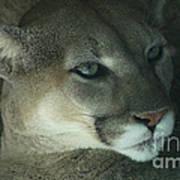Cougar-7688 Art Print