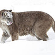 Cougar On A Winter Prowl Art Print