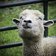 Counting Sheep Art Print