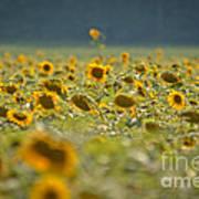 Country Sunflowers Art Print