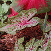 Courtyard Caladium Art Print