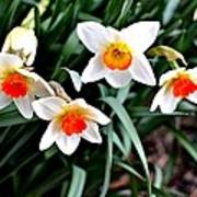 Covenant Daffodils Art Print