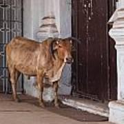 Cow At Church At Colva Art Print