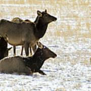 Cow Elk   #0460 Art Print