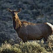Cow Elk    #7533 Art Print