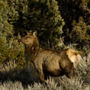 Cow Elk   #7582 Art Print