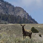 Cow Elk   #9488 Art Print